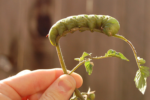 Caterpillar scale