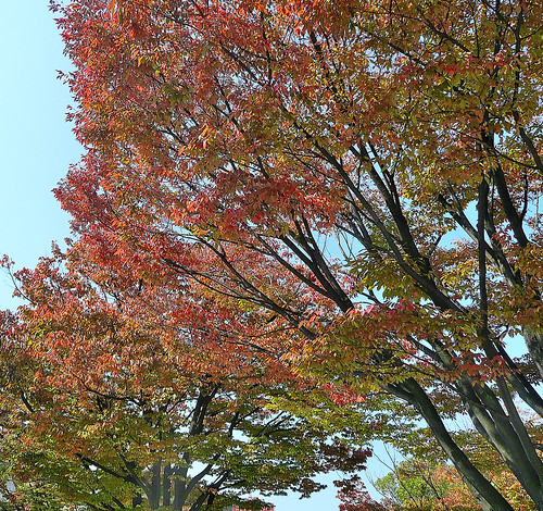 Autumn Leaves in Tennoji Park