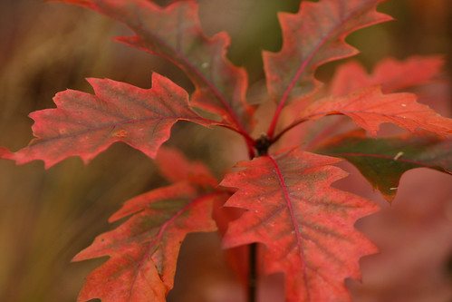 Autum oak leaves