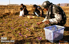 Saffron -  (Reza-ir) Tags: people work iran documentary social crocus saffron khorasan    khaf