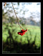 The last.... ( Annieta  Off / On) Tags: autumn red oktober holland color nature canon ilovenature berry herfst nederland thenetherlands natuur powershot damn s2is rood farbe colori canonpowershots2is 2009 couleur allrightsreserved birdfood gmt kleur krimpenerwaard vogelvoer annieta natureplus lijsterbes autonno impressedbeauty rubyphotographer doubledragonawards ~newenvyofflickr~ beyondbokeh usingthisphotowithoutpermissionisillegal