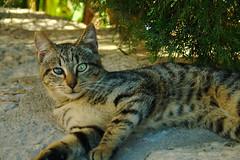Random cat (Jiuck) Tags: cat pose looking tiger posing gato mallorca tigre mirando deia laydown rayado tumbado posar posado tuerto