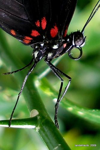 Papilio rumanzovia - Mormón escarlata (Detalle)