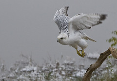 Gyrfalcon takes flight (merigan) Tags: boulder co birdwatcher gyrfalcon avianexcellence