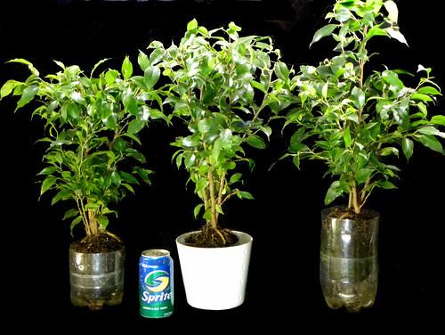 Sub-irrigated Pop Bottle Planters 2.0
