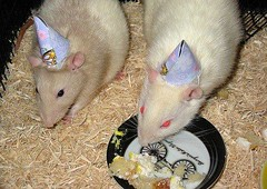 my pet rats wearing birthday hats (oh_fiddlestix) Tags: pets animals rats rodents ratties birthdayhats petrats fancyrats animalsinhats ratsinhats ratswearingbirthdayhats ratswearinghats