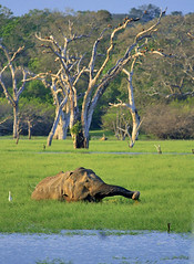 Thaniya (Sara-D) Tags: wild elephant nature canon wildlife srilanka ceylon yala wildelephant asianwildlife wildsrilanka buttawa