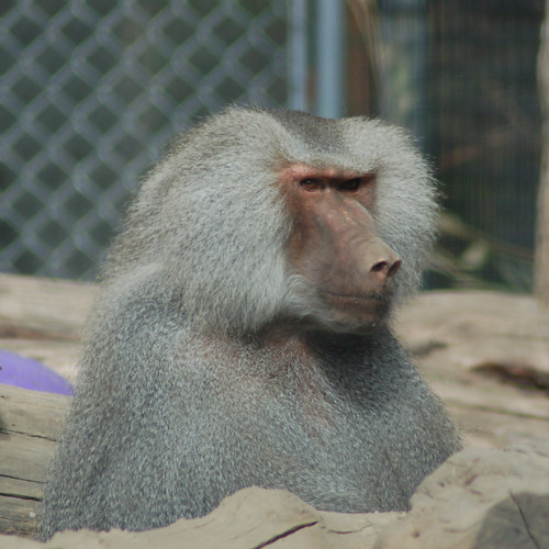 Baboons #2