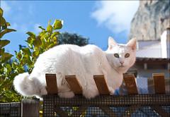 chino se escapa 2 (orozco-fotos) Tags: cats cat gatos gato orozco nikond90 sigma18250 corozco corozcofotos