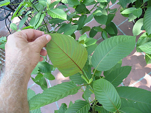 Kratom  Red Vein Kratom picture photo bild