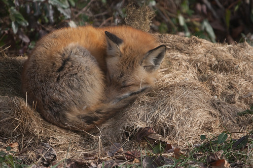 The Fox Sleeps