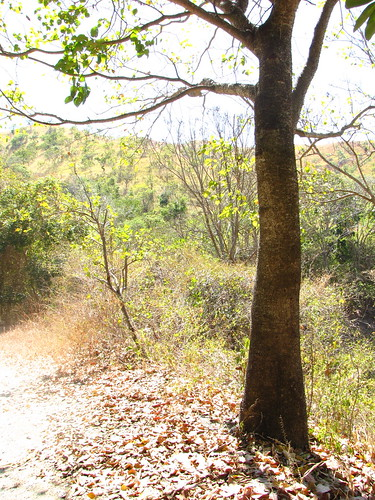 Jabillo [Sandbox tree] (Hura crepitans)