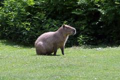 Capybara - Südamerikanisches Wasserschwein