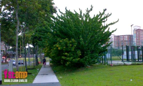 Overgrown hedges at Hougang attract hornets and bees