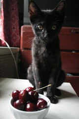 2 1/2 months with cherries (Venessa Nina) Tags: new york city black cute cat cherry photography stem cherries kitten boulevard young adorable kitty bowl whiskers queens growth age qb stray meow nina fracture investigate blvd abused brokenleg venessa fivefootmohawk venessaninaphotography