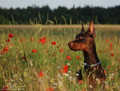 Campary (Liisaz88) Tags: flowers summer brown nikon estonia land fiel dobermann flox campary legrant