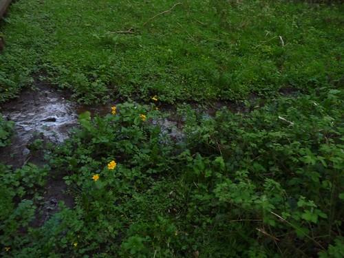 Marsh-marigold-tess-way-21.04.09-no5