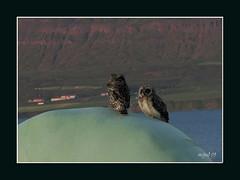 Ugla sat  ... plasti.... tti brn  hasti...1,2,3,.... (mgu) Tags: light art love nature birds canon iceland education truth flickr wisdom honesty flickrphoto eourope mgu