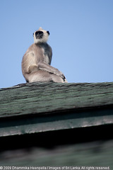 IMG_7350 - Gray Langur  at Yala (Dhammika Heenpella / Images of Sri Lanka) Tags: travel wild vacation holiday travelling tourism nature rural relax monkey interesting scenery asia village view calendar forrest outdoor wildlife sightseeing southern jungle enjoy experience srilanka curious southeast visitors accommodation relaxation lk curiosity neighbourhood touristattraction stay exciting yala downsouth holidaying scenicbeauty thrilling placesofinterest photosof yalanationalpark yalavillagehotel southernprovince dhammikaheenpella touristattractionholiday monkeyontheroof theimagesofsrilanka heenpalla visitsrilanka2011