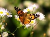 Butterfly on Blossom (Andy von der Wurm) Tags: fab macro nature animal closeup fauna butterfly germany insect deutschland europa europe dof blossom bokeh lawn wiese explore papillon alemania makro mariposa blüte insekt allemagne soe nahaufnahme tier schmetterling bluete fineartphotos hobbyphotograph mywinners shieldofexcellence andreasfucke