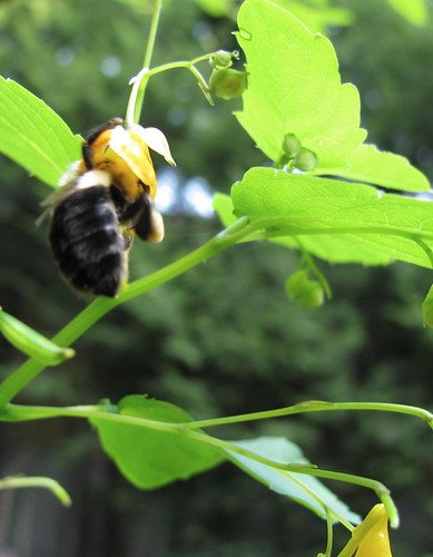 bee on jewelweed