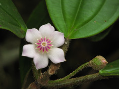 Clusia (Marco Gaiani) Tags: pink flower venezuela trujillo clusia guaramacal