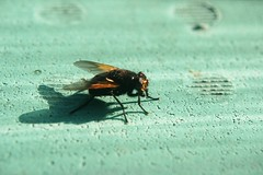 365 days | 288 | golden fly (Der Ohlsen) Tags: colour closeup digital fly honey fliege honig project365 365days canoneos400d