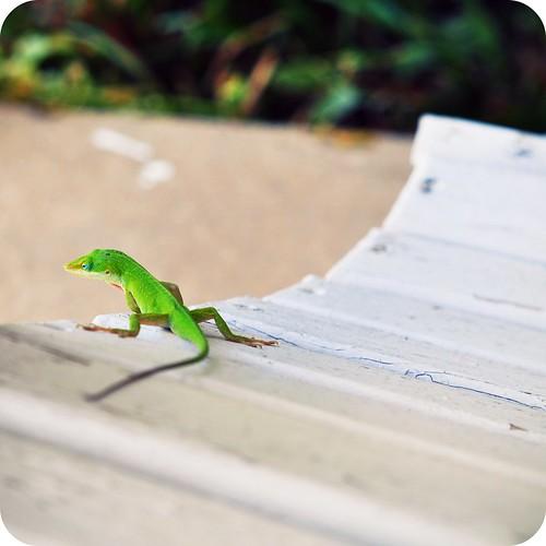 Lizard:  August 9, 2009
