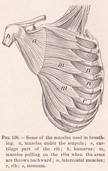 page 207 Sternum Muscles (perpetualplum) Tags: muscles illustration vintage book image drawing chest free medical creativecommons bodyparts uploads 1908 humanbody publicdomain sternum freebie copyrightfree pre1923 thehumanbodyandhealth alvindavison