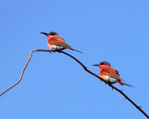 Carmine Bee Eaters Against Blue Sky