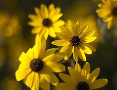yellow flowers (Mark Tenney) Tags: flowers bokeh nikond50 criticismwelcome bokehandbeyond beyondbokeh