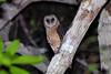 Sulawesi Masked Owl (Tyto rosenbergii) (Bram Demeulemeester - Birdguiding Philippines) Tags: indonesia sulawesi owls nightbirds tytorosenbergii sulawesimaskedowl togeanislands bramdemeulemeester