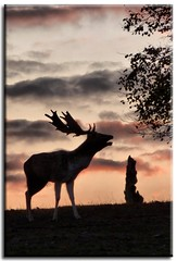 The call of the wild (Linda Cronin) Tags: autumn sky silhouette evening kent stag dusk deer antlers fallowdeer thumbsup calling sevenoaks knolepark naturesfinest coth gamewinner bej challengeyouwinner mywinners 3waychallengewinner platinumphoto anawesomeshot superaplus aplusphoto flickrdiamond 15challengeswinner motifdchallengewinner betterthangood friendlychallenges coth5 pregamewinner
