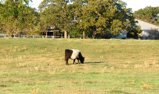 oreo cow 2