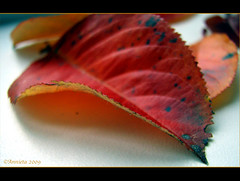 Study ( Annieta  Off / On) Tags: autumn oktober holland color macro nature canon ilovenature leaf herfst nederland thenetherlands natuur powershot blad study s2is farbe colori canonpowershots2is 2009 couleur allrightsreserved kleur annieta abigfave autonno vosplusbellesphotos usingthisphotowithoutpermissionisillegal