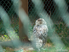 Coruja das Neves / Snow Owl (Nuno-Gomes) Tags: life wild snow nature animal zoo interesting fantastic bestof shot great best explore owl greatshot coruja colored gaia ohhh neves nunogomes excelent quintadesantoincio updatecollection travelsofhomerodyssey ngomes