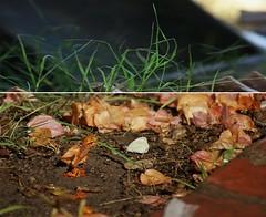 .mar. i . posa. (Mar*~) Tags: orange naturaleza verde green folhas nature grass leaves butterfly hojas natureza natur vert erba papillon grama borboleta gras grn mariposa bltter farfalla feuilles herbe arancione schmetterling papilio hierba papallona csped fogli alaranjado tximeleta di parupar ch paplotl