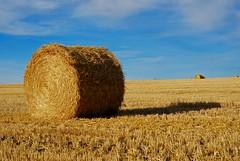 Giant Mini-Wheat (Witty nickname) Tags: blue shadow landscape 50mm gold bluesky alberta hero winner prairie hay nikkor bales haybales sooc nikond80 roundhaybales yourock1st giantminiwheat