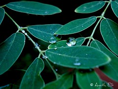 Tears of the nature :-P (amithes) Tags: leaves greens waterdroplets tearsofthenature