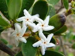 Sea Box (Boobook48) Tags: australia victoria apocynaceae aireysinlet littoralrainforest alyxia australianrainforestplants seabox vrfp nswrfp alyxiabuxifolia arfflowers southernalyxia