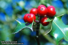 European Holly - Ilex aquifolium (puffinbytes) Tags: greatbritain england plants london unitedkingdom plantae hampstead ilex dicotyledon floweringplants hollies ilexaquifolium dicots aquifoliaceae europeanholly anthophyta taxonomy:kingdom=plantae taxonomy:family=aquifoliaceae taxonomy:genus=ilex taxonomy:class=dicotyledon taxonomy:binomial=ilexaquifolium aquifoliales taxonomy:species=aquifolium spb:country=uk spb:pty=w spb:lid=008y spb:id=01ve spb:species=ilexaquifolium spb:pid=0ao0 taxonomy:common=europeanholly taxonomy:phylum=anthophyta taxonomy:order=aquifoliales