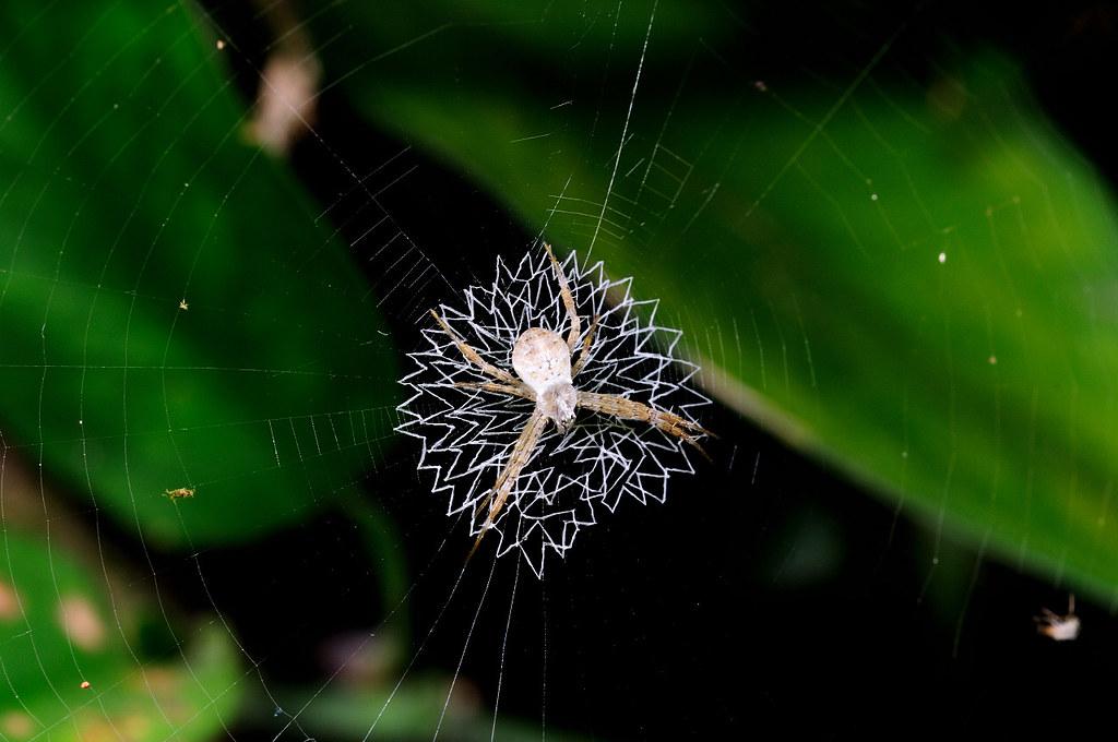中形金蛛(若蛛) Argiope aetheroides