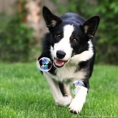 18/52 Bubble Bea (BCxFour) Tags: dog cute collie bokeh expression border bubble pup 52weeksfordogs