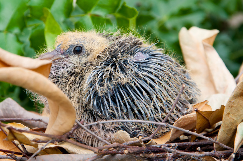 Baby rock dove
