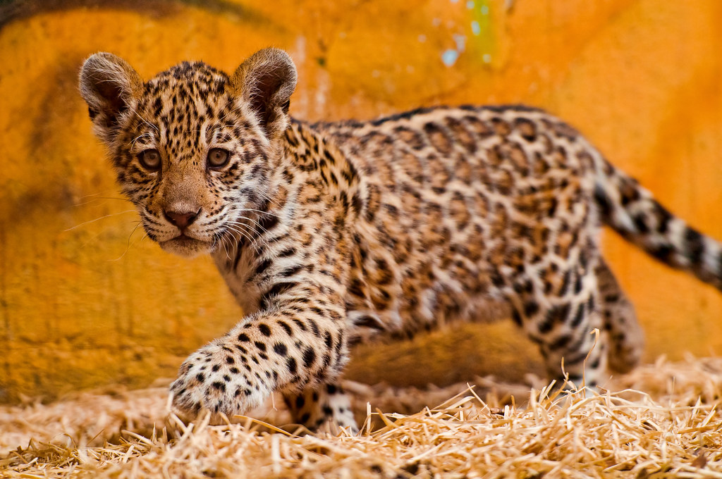 Walking in the hay by Tambako the Jaguar