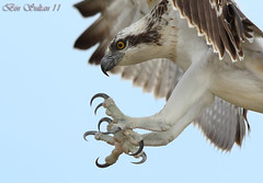 Osprey   -  () Tags: bird birds bin sultan qatar  birdwatchers    ospry