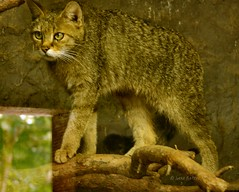 Wildcat (joeke pieters) Tags: germany zoo wildcat tierpark duitsland dierentuin felissilvestris wildekat anholterschweiz wildkatze 3427 biotopwildpark