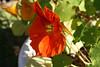 (wmpe2000) Tags: 2017 backyard garden flowers nasturtium nasturtiums tropaeolum tropaeolaceae orderbrassicales orange yellow