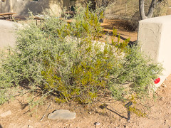 Wolfberry (melastmohican) Tags: desertthorn color bush medicine boxthorn rounded anderson united root tree system branche shape flowering flat leaf states solanaceaewaterjacket berry thorn plant shrub fibrous thick thin wolfberry fleshy southwestern garden leaves desert spines lycium nature outdoor squawberry native redberry thornbush green nightshade fruit branch andersonii