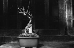 Bonsai for sale (odeleapple) Tags: nikon f2 nikkor 50mm yellowfilter kodaktmax100 film monochrome bw bonsai